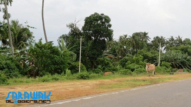Cows are easily spotted on the road heading to Kudat